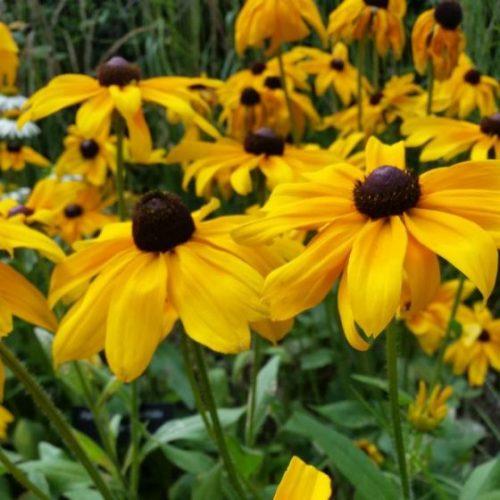 Indian Summer Black-Eyed Susan blooms up close