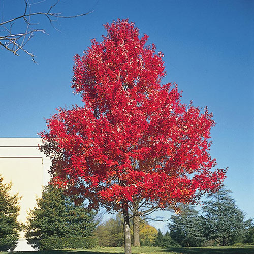 Scarlet Maple Tree