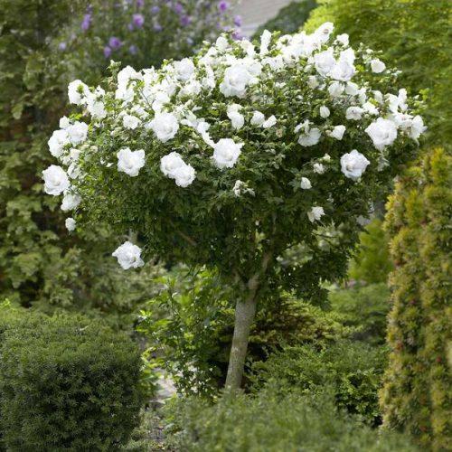 White Rose of Sharon Althea Tree