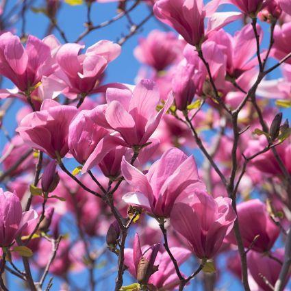 Galaxy Magnolia Blooms