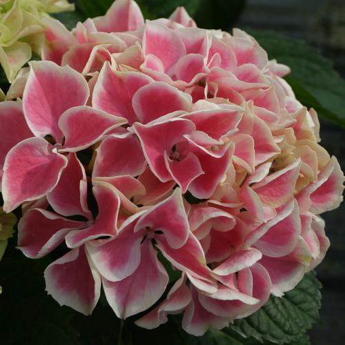 Edgy Hearts - Bigleaf hydrangea - Hydrangea macrophylla