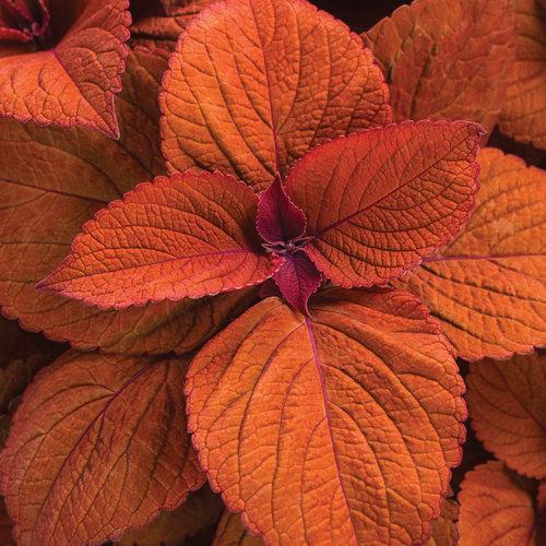 ColorBlaze Sedona Sunset - Coleus - Solenostemon scutellarioides