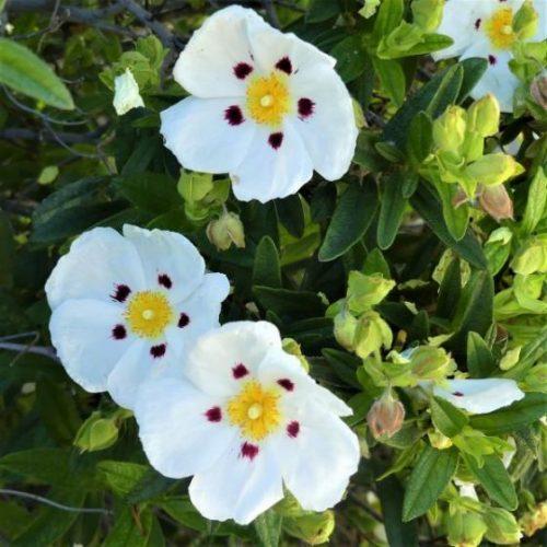 Crimson-Spot Rockrose Blooms
