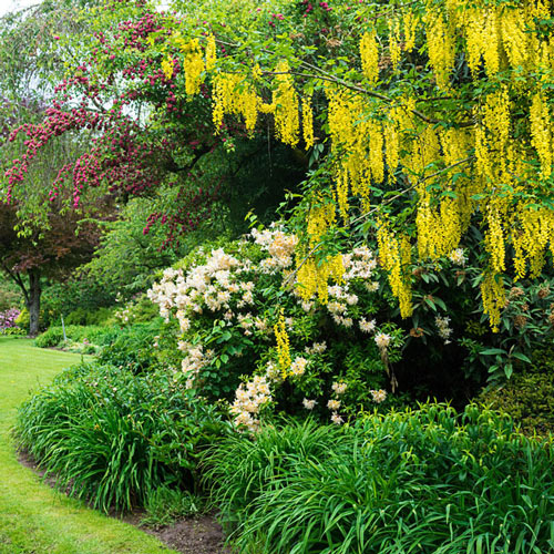 Golden Chaintree Flowering Tree