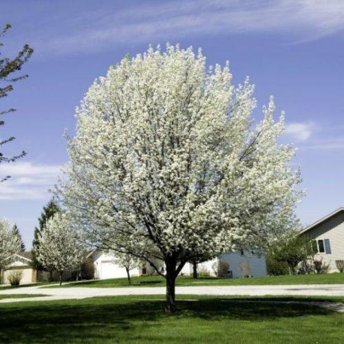 Bradford Flowering Pear Tree Overview