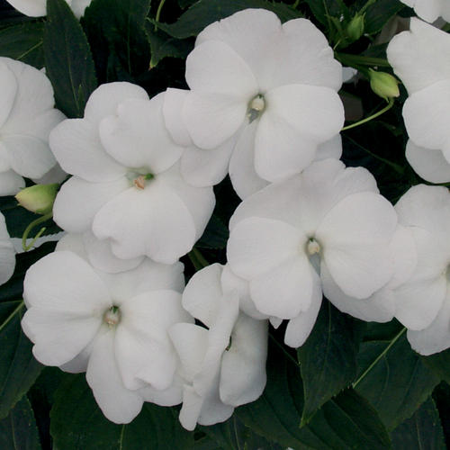 Infinity White - New Guinea Impatiens - Impatiens hawkeri
