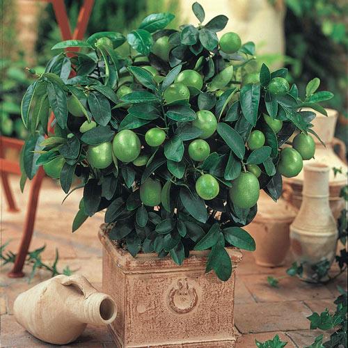 Dwarf Key Lime Plant