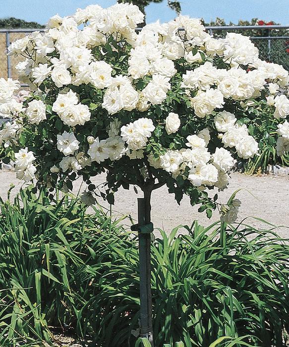 Icecap Rose Tree