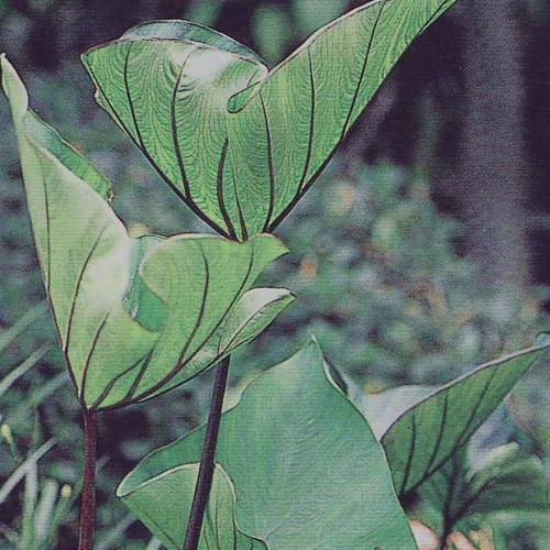 Coffee Cups - Elephant's Ear - Colocasia esculenta