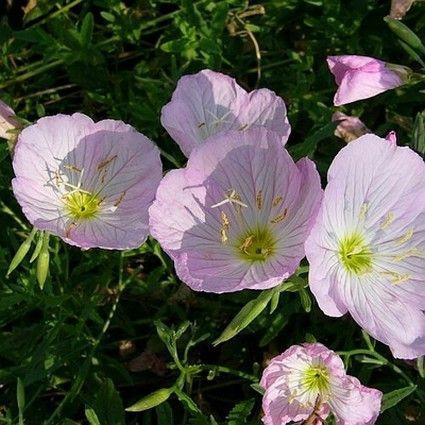 Twilight Evening Primrose blooms