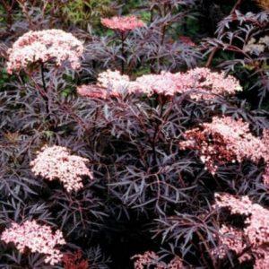 Black Lace Elderberry Flowers