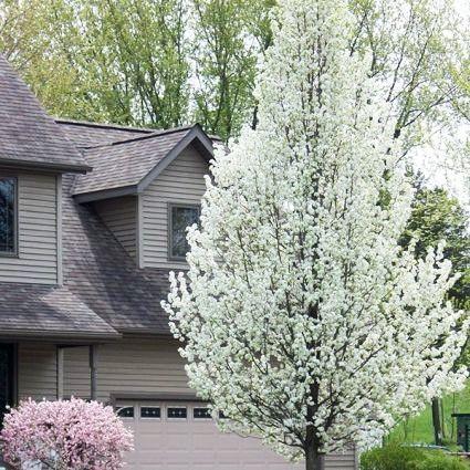 Cleveland Flowering Pear Landscape