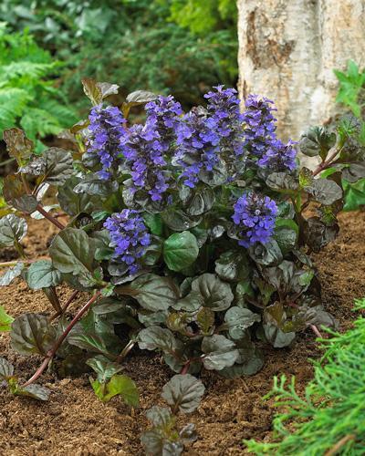 Black Scallop Ajuga Plant