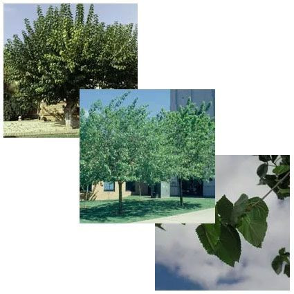 White Mulberry collage