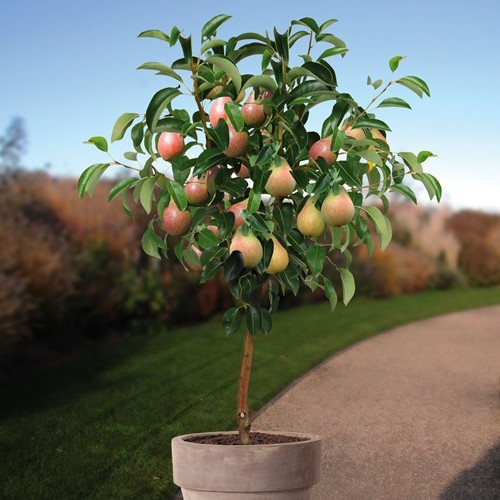 Standard Pear Tree Clapps Favourite 100 cm