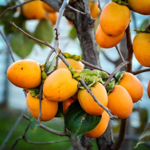 Saijo Japanese Persimmon Tree