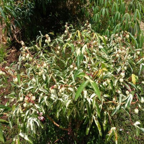 Variegated Tapioca Plant