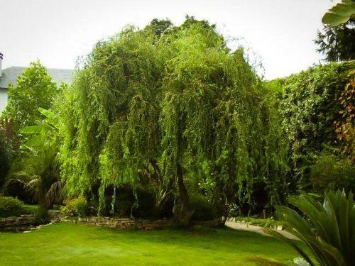 Mature Corkscrew Willow Tree