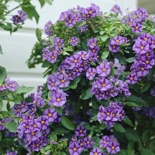 Blue Potato Solanum rantonnetti