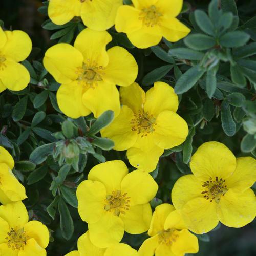 Happy Face Yellow - Potentilla fruticosa