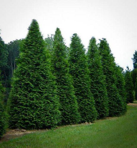 Thuja Green Giants