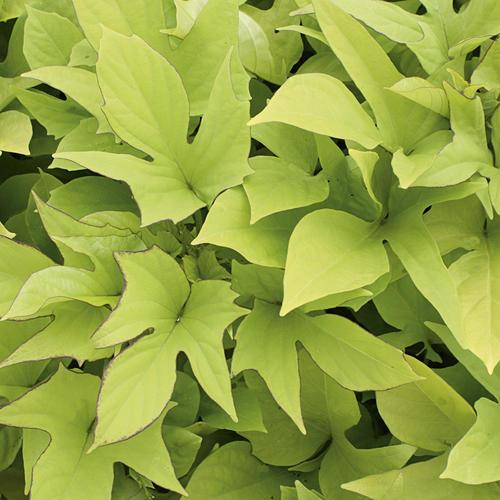 Proven Accents 'Sweet Caroline Light Green' - Sweet Potato Vine - Ipomoea batatas
