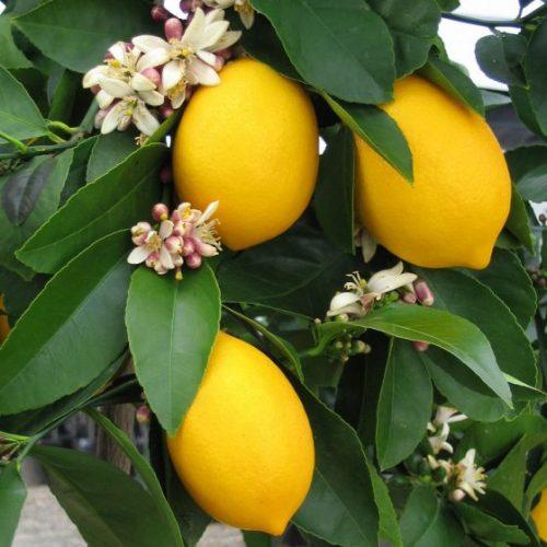 Improved Dwarf Meyer Lemon Trees Fruit