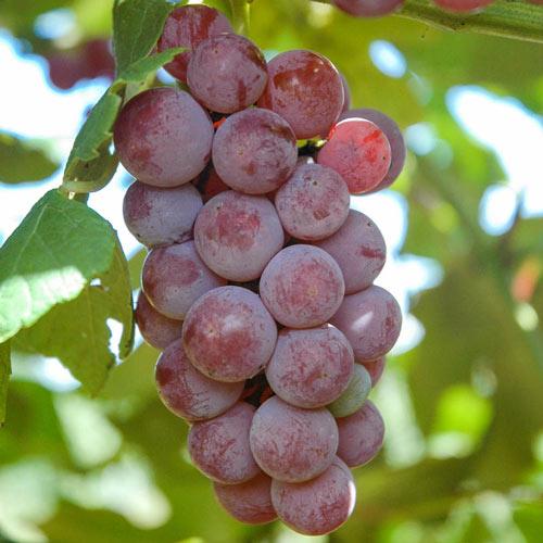 Somerset Seedless Grape Vine