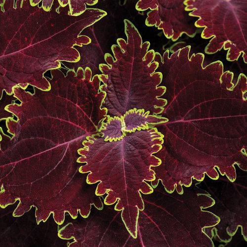 ColorBlaze Wicked Witch - Coleus - Solenostemon scutellarioides