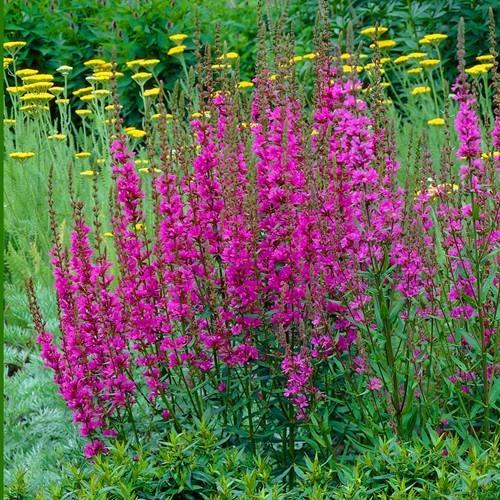 Lythrum Morden Pink 9 cm pot