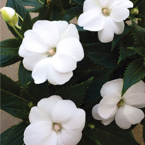SunPatiens Compact White - Impatiens x hybrida
