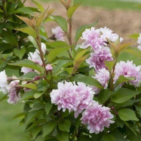 Zuzu Dwarf Flowering Cherry Tree Overview