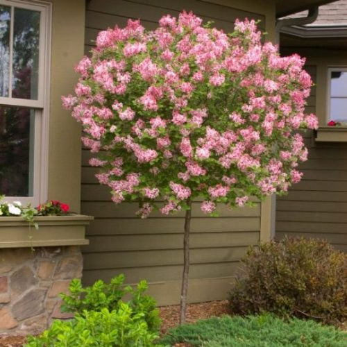 Tinkerbelle Lilac Tree overview
