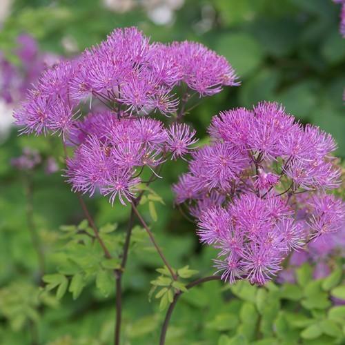 Thalictrum aquilegifolium purpureum Bare Root