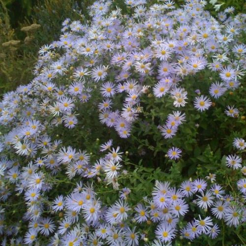 Woods Blue Aster blooms and foliage