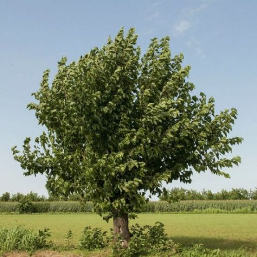 White Mulberry Overview