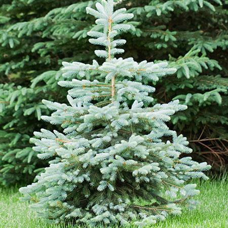 Blue Wonder Spruce Tree