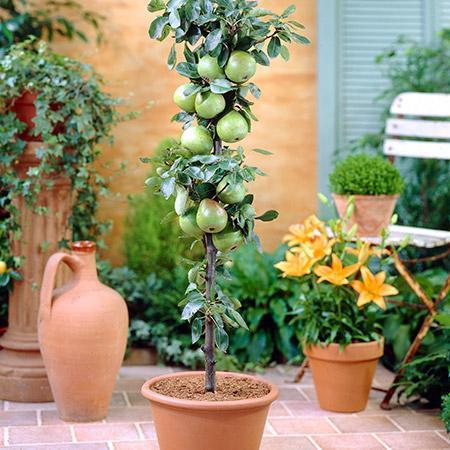 Green Columnar Apple Tree