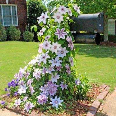 Nelly Moser Clematis Vine