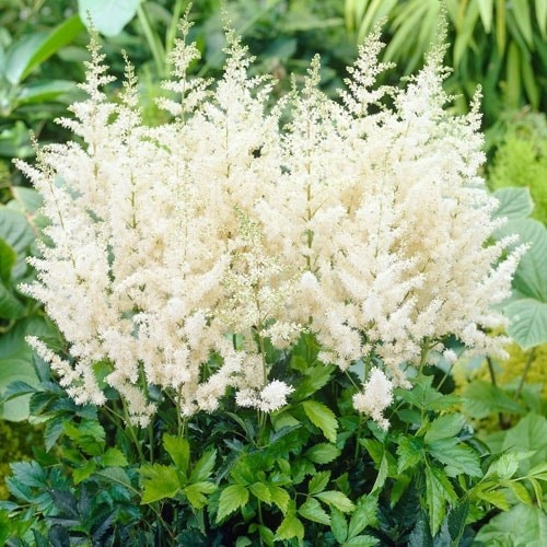 Astilbe arendsii Diamant Bare Root