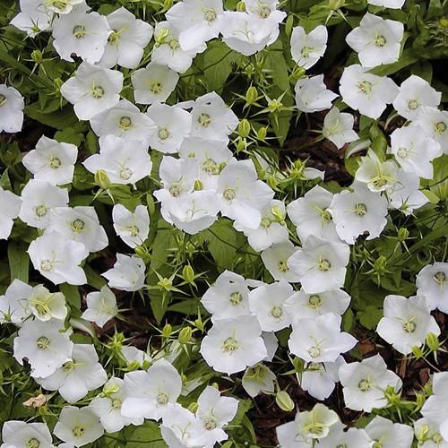 Campanula carpatica White