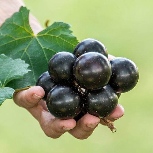 Supreme Grape Vine