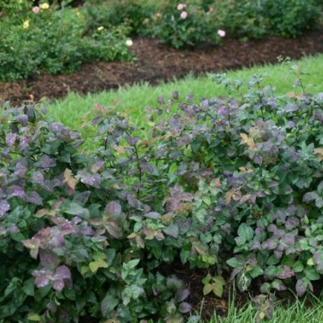 Double Play Blue Kazoo Spirea Overview