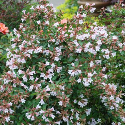Pink Abelia Overview