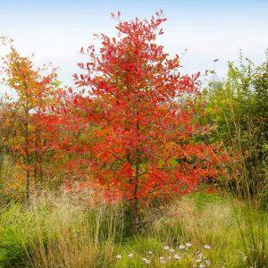 Autumn Brilliance Serviceberry Tree