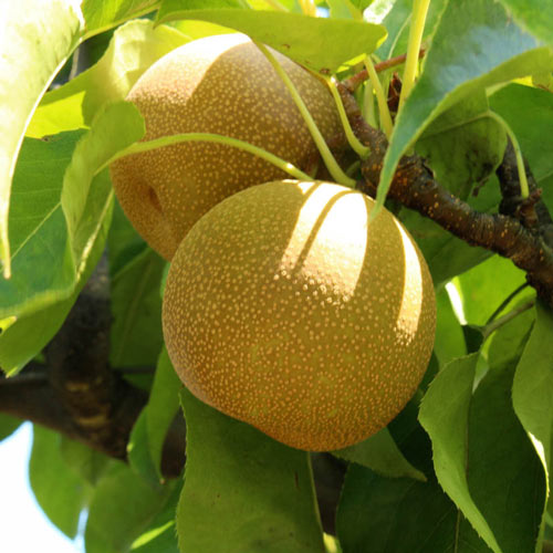 Shinseiki Asian Pear Tree