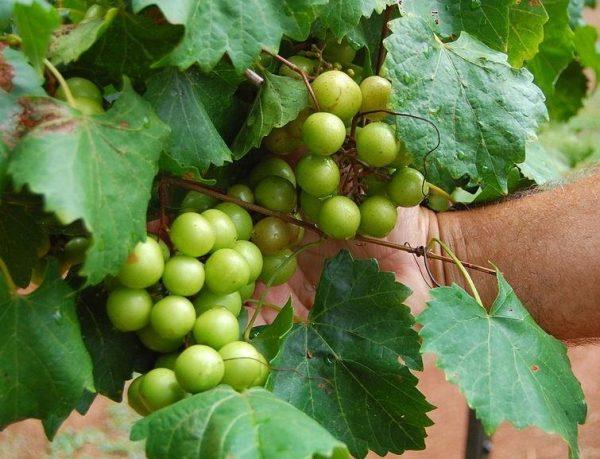 Scuppernong Grape Vine