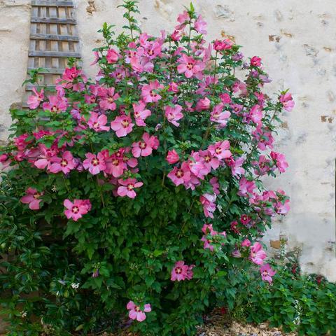 Aphrodite Rose of Sharon Althea Shrub