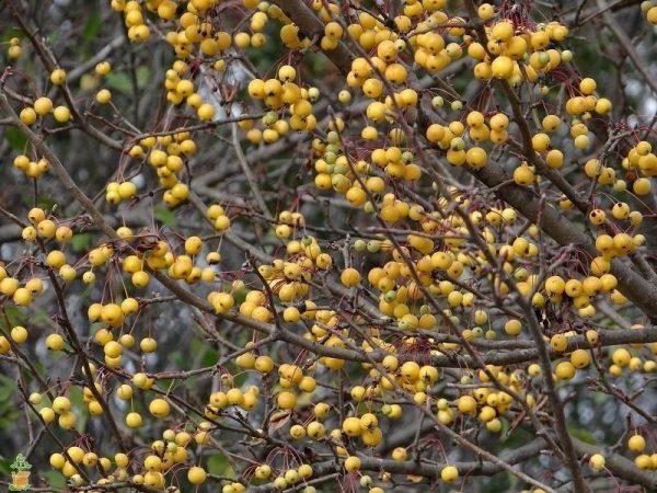 Harvest Gold Crabapple Tree