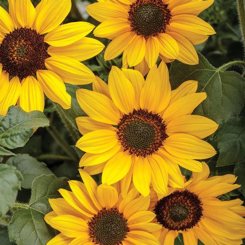 Suncredible Yellow - Sunflower - Helianthus hybrid